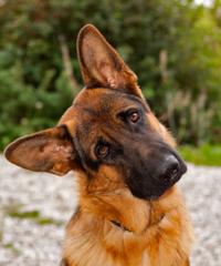הטיית ראש פגיעה נוירולוגית בכלבים