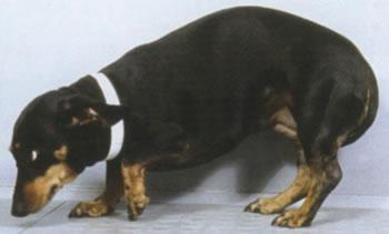 כאב אצל כלבים וחתולים