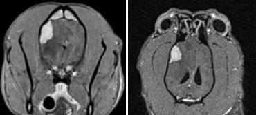 סריקת MRI של המוח בכלב